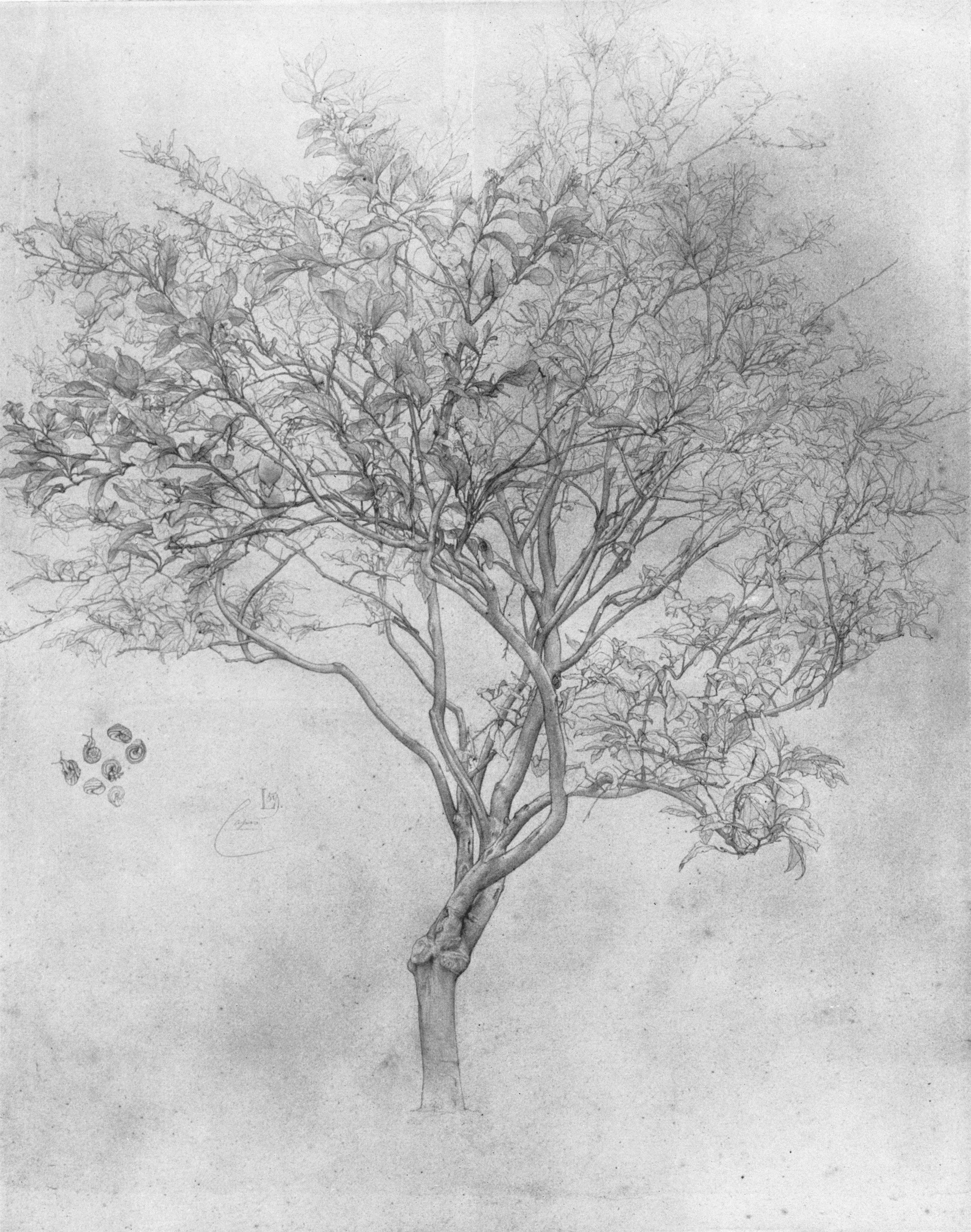 Lemon Tree Artwork Study of a Lemon Tree
