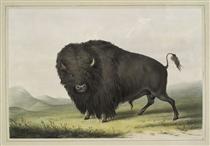 Buffalo Bull Grazing - Джордж Кетлін