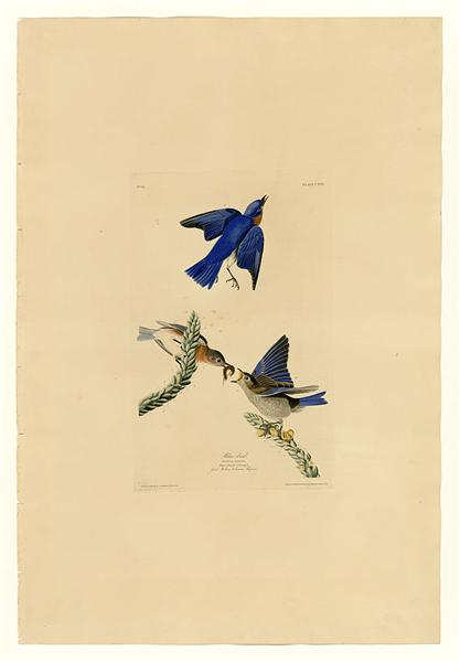 Plate 113 Blue-bird - John James Audubon