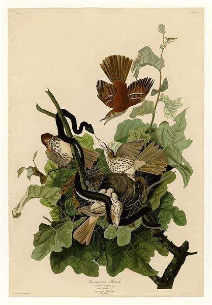 Plate 116 Ferruginous Thrush - John James Audubon