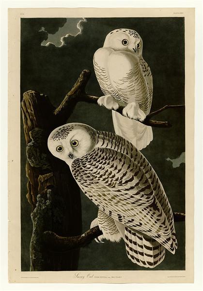 Plate 121 Snowy Owl - John James Audubon