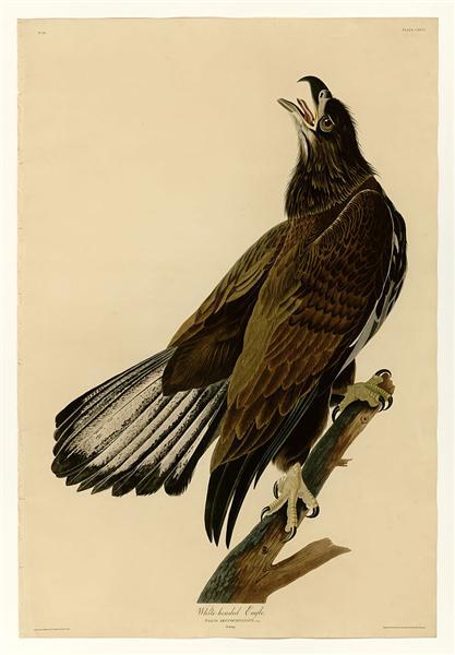 Plate 126 White-headed Eagle - John James Audubon