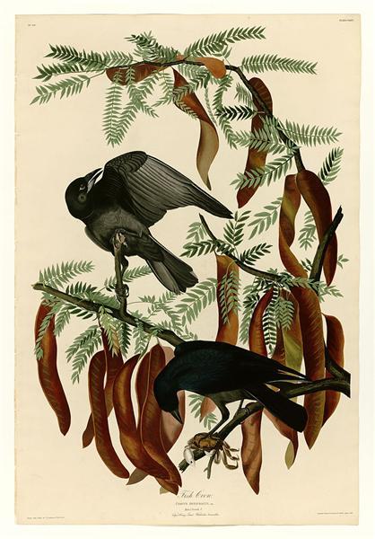 Plate 146 Fish Crow - Jean-Jacques Audubon