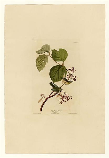 Plate 148 Pine Swamp Warbler - John James Audubon