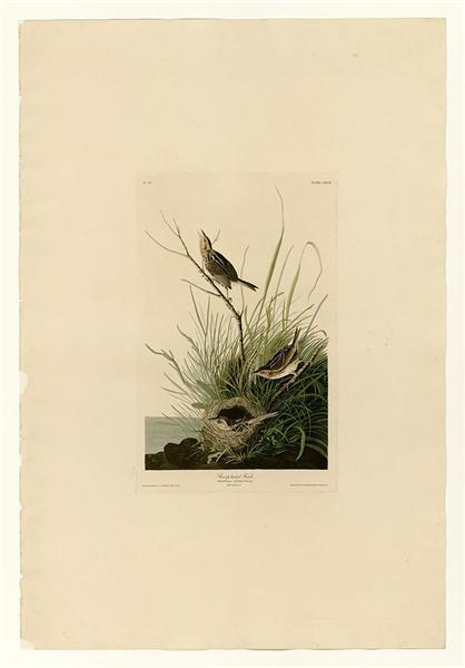 Plate 149 Sharp-tailed Finch - John James Audubon