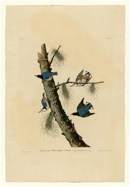 Plate 152 White-breasted Black-capped Nuthatch - Jean-Jacques Audubon