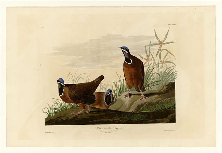 Plate 172 Blue-headed Pigeon - John James Audubon