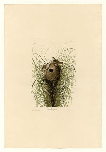 Plate 175 Nuttall's lesser-marsh Wren - John James Audubon