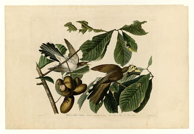 Plate 2. Yellow-billed Cuckoo - John James Audubon