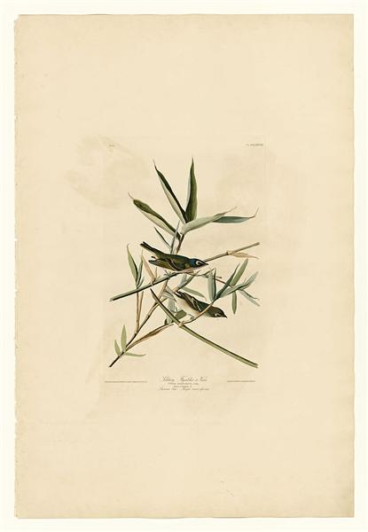 Plate 28. Solitary Flycatcher or Vireo - Jean-Jacques Audubon