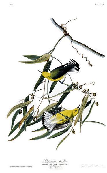 Plate 3. Prothonotary Warbler - Джон Джеймс Одюбон