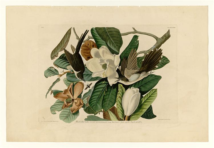 Plate 32. Black-billed Cuckoo - John James Audubon