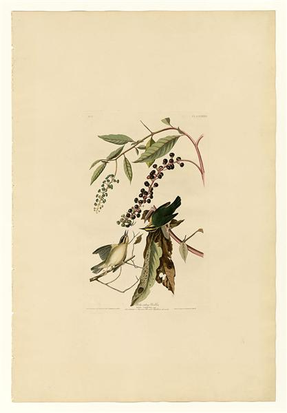 Plate 34. Worm eating Warbler - John James Audubon
