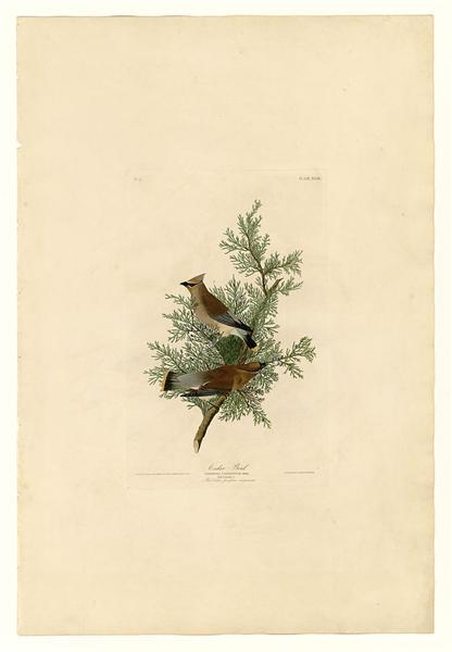 Plate 43. Cedar Bird - John James Audubon