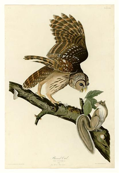 Plate 46. Barred Owl - John James Audubon