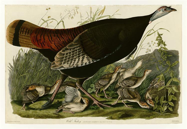 Plate 6. Wild Turkey - Jean-Jacques Audubon