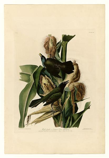 Plate 7. Purple Grakle or Common Crow Blackbird - John James Audubon