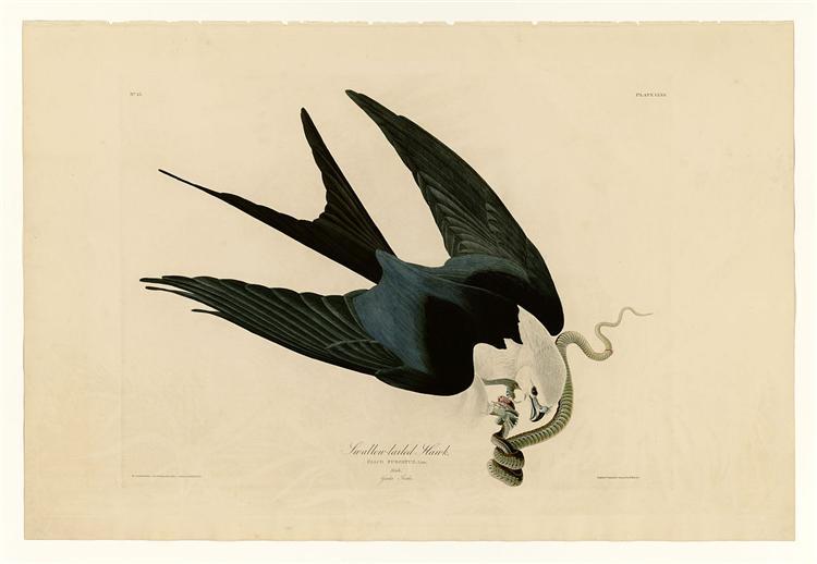 Plate 72 Swallow-tailed Hawk - John James Audubon