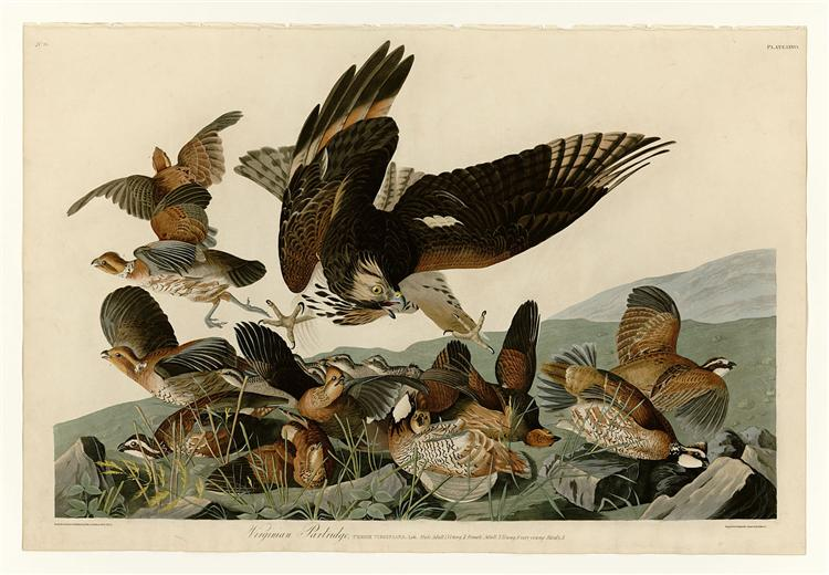 Plate 76 Virginian Partridge - John James Audubon