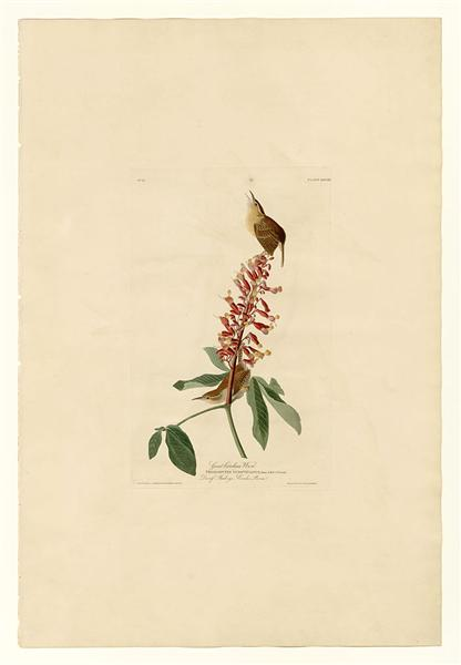 Plate 78 Great Carolina Wren - Jean-Jacques Audubon
