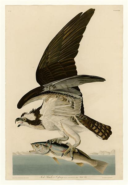 Plate 81 Fish Hawk or Osprey - John James Audubon