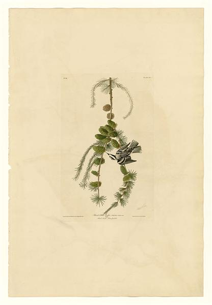 Plate 90 Black & White Creeper - John James Audubon