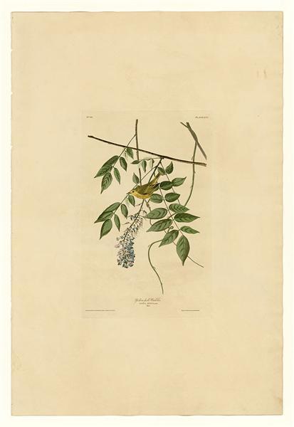 Plate 95 Yellow-poll Warbler - John James Audubon